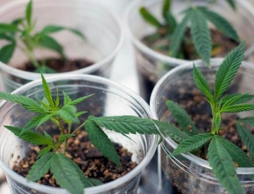 Canadians Say That 4 Plants Per Household Isn't Enough, Get a License for 400